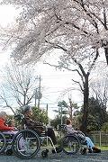 s-桜を眺めてるタテ