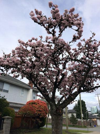vancouver_cherryblossom_2017_10.jpg