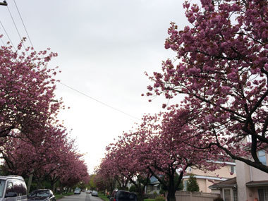 vancouver_cherryblossoms_2017_10.jpg