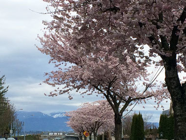 vancouver_cherryblossoms_2017_4.jpg