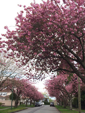 vancouver_cherryblossoms_2017_9.jpg