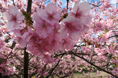 20河津桜
