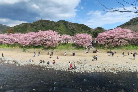 24河津桜