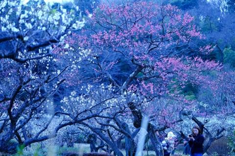 01薬師池公園紅白梅