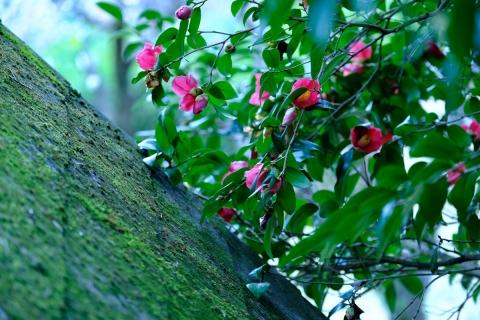 04薬師池公園藪椿