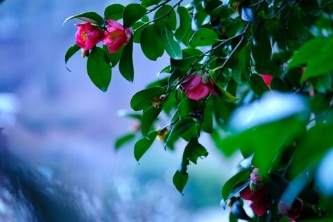 05薬師池公園藪椿