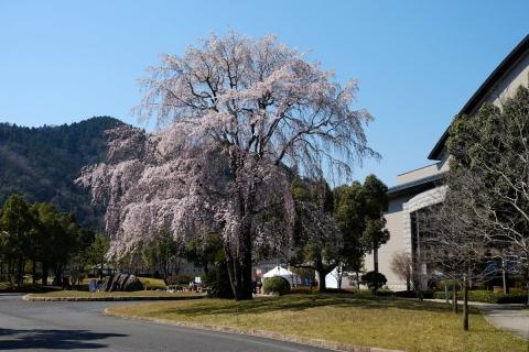 09枝垂桜