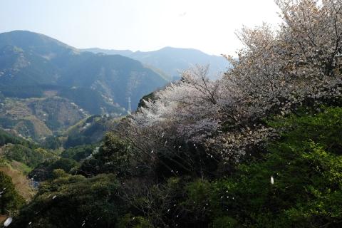 28船原峠へ桜吹雪