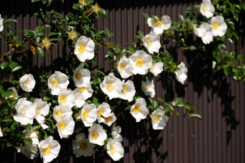 25鎌倉の路地の白い椿