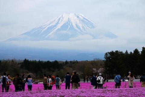 40芝桜祭り