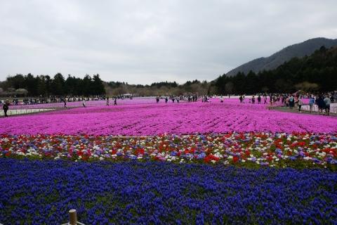 41芝桜祭り