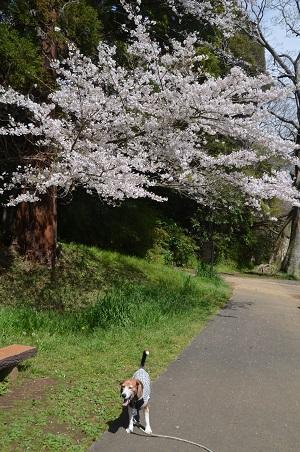 20170412佐倉城址公園11