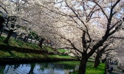 sakura-kawagoe6.jpg