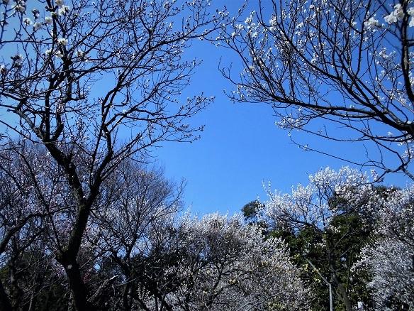 17.2.20 絵の教室・大和田梅まつり (62)