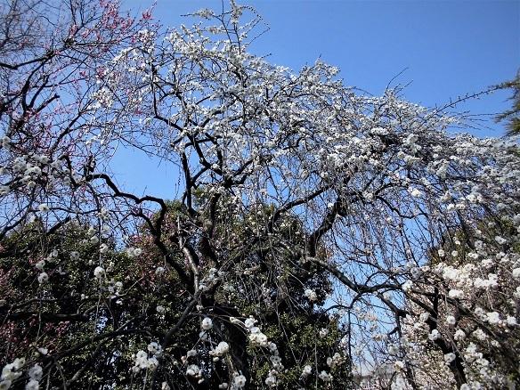 17.2.20 絵の教室・大和田梅まつり (72)