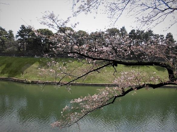 17.4.2 ホノルル4マラソン同窓会・千鳥ヶ淵 (6)