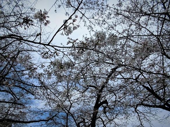 17.4.2 ホノルル4マラソン同窓会・千鳥ヶ淵 (35)