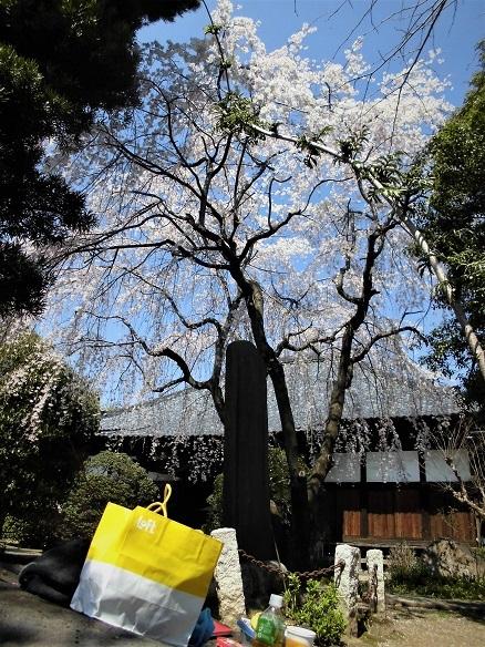 17.4.4 潅頂院の枝垂れ桜 (62)