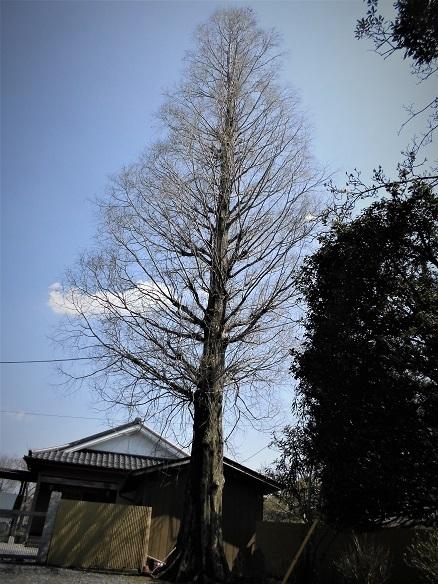 17.4.4 潅頂院の枝垂れ桜 (107)