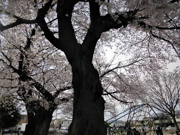 17.4.6 五味貝戸公園の桜 (4)