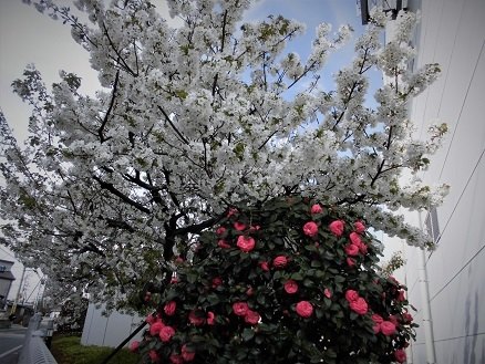6 17.4.10 鴨川桜散歩と青柳個展 (16)