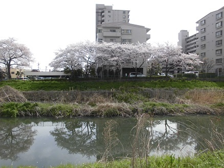 11 17.4.10 鴨川桜散歩と青柳個展 (115)