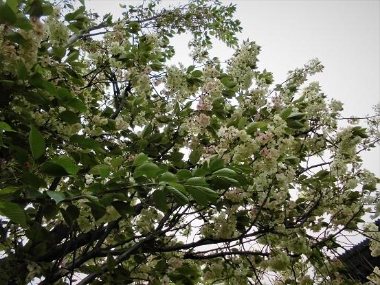17.4.20 パステル画、散歩の花  (44)