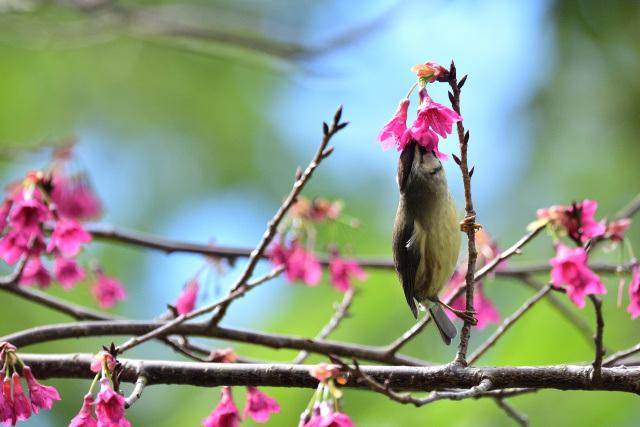 カンムリチメドリ(7)