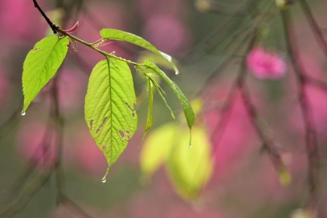 新緑と桜(2)
