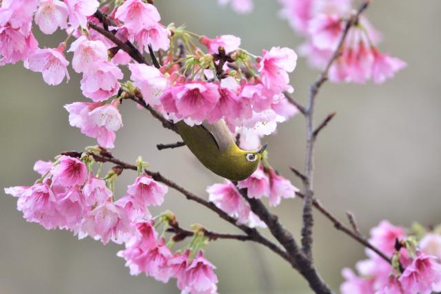 寒桜とメジロ(4)