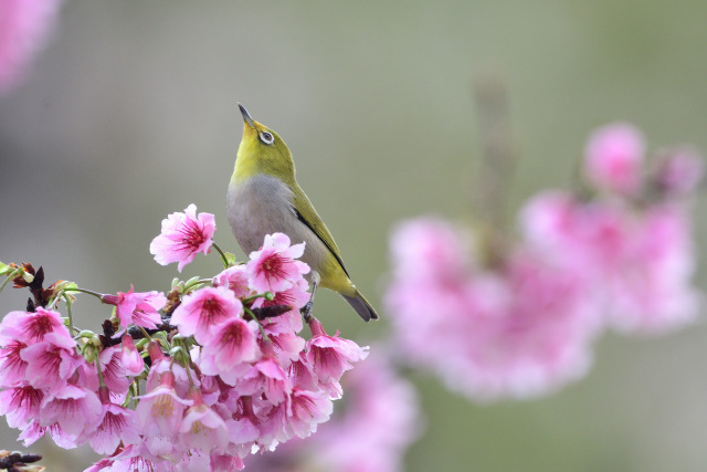 寒桜とメジロ(11)