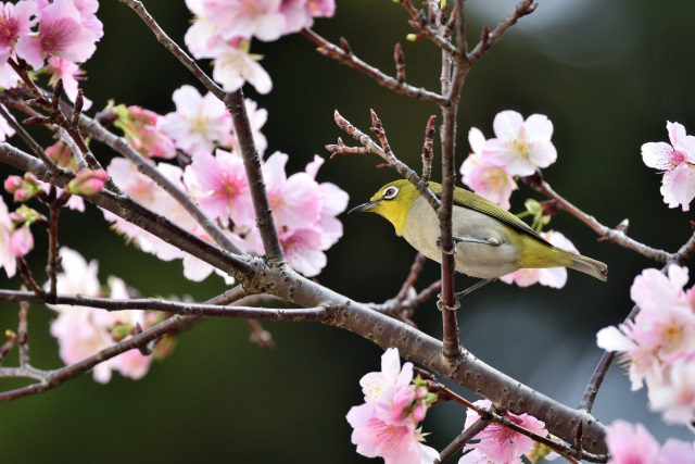 大島桜とメジロ(6)