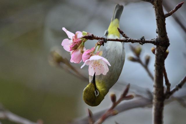大島桜とメジロ(4)