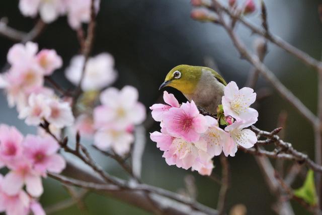 大島桜とメジロ(5)