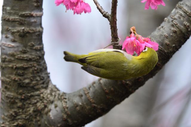 寒緋桜とメジロ(8)