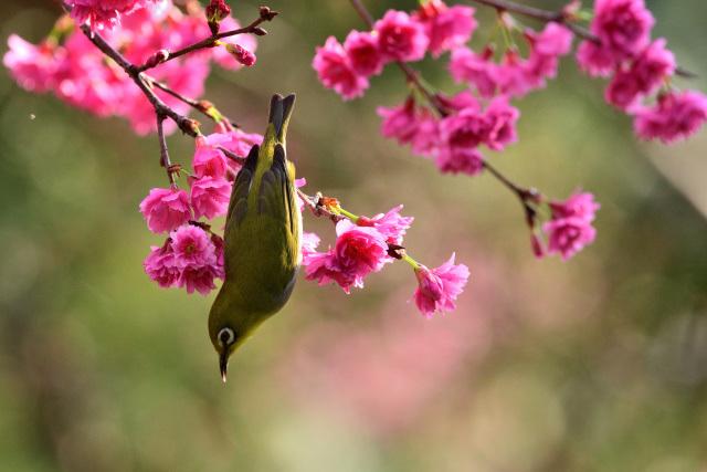 八重桜とメジロ(7)