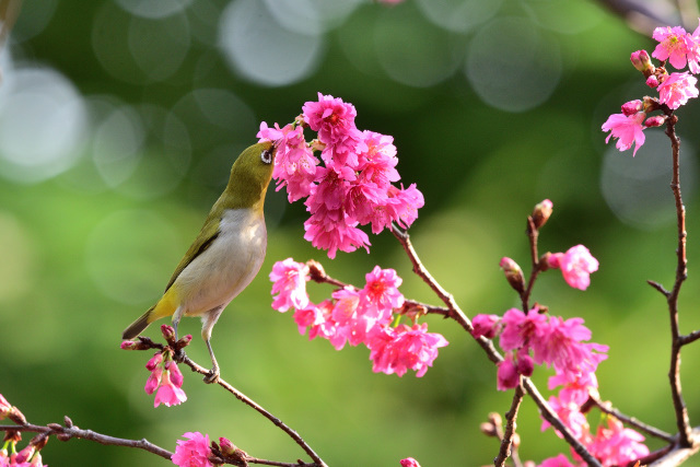 八重桜とメジロ(3)