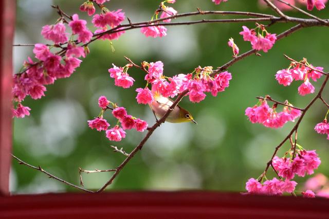 八重桜とメジロ