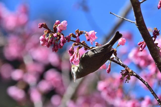 カンムリチメドリ(4)
