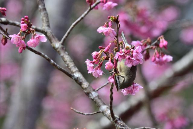 カンムリチメドリ(2)