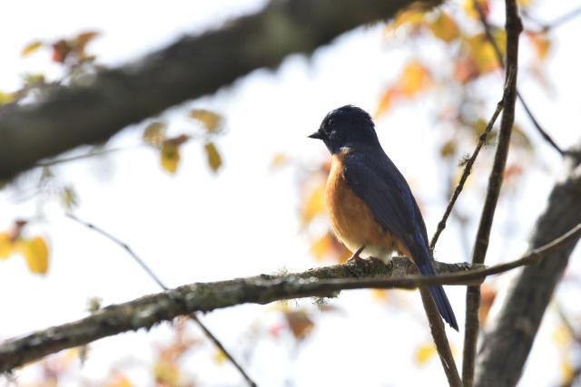 阿里山の野鳥(6)