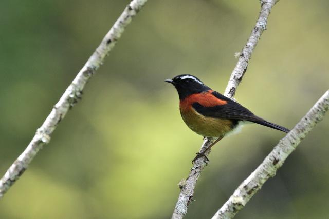 阿里山の野鳥(5)