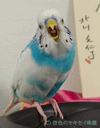 大きな口を開ける珠霞 空色のセキセイ珠霞