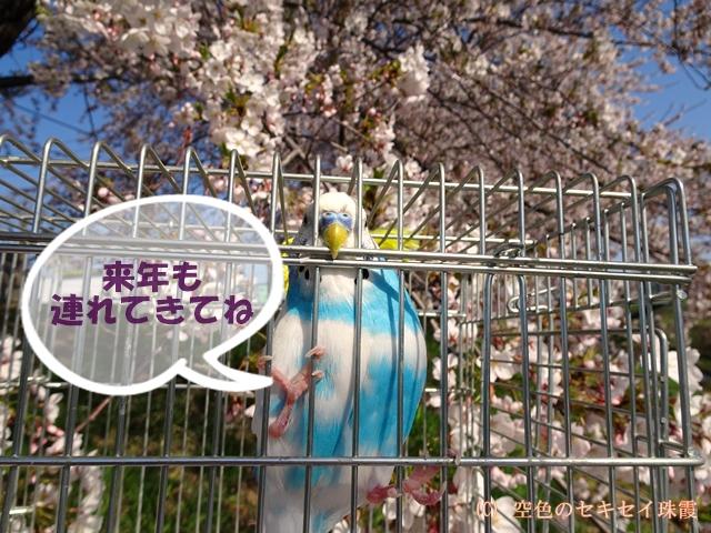 来年も一緒に花見 空色のセキセイ珠霞