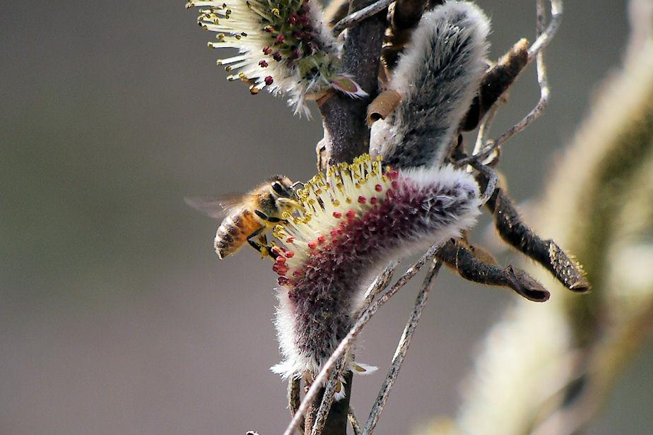 ネコヤナギに花にミツバチ