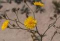 Rhanterium epapposum1