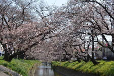 2017桜まつり1