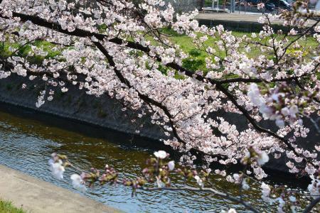 2017桜まつり3