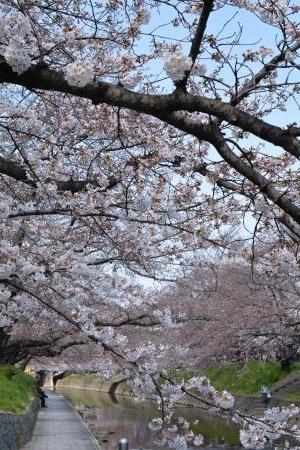 2017桜まつり5