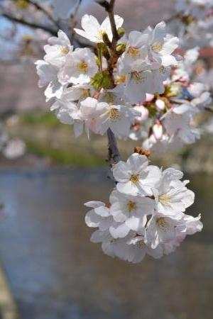 2017桜まつり6